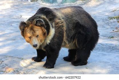 Tibetan blue bear or Horse bear,the Tibetan blue bear is one of the rarest brown bears in the world
