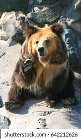 Tibetan blue bear or Horse bear sitting on the ground,the Tibetan blue bear is one of the rarest brown bears in the world