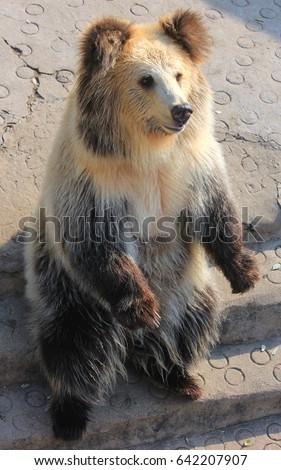 bär i tibet