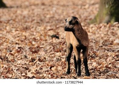 Tibetan goat dwarf