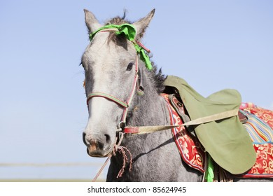 Tibetan horse is saddled and waiting for the horseman