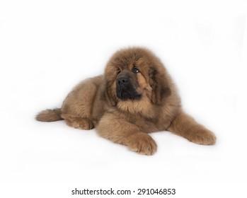 Tibetan Mastiff on a white background