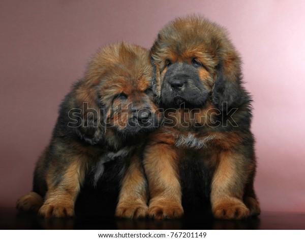 Tibetan Mastiff Puppies Studio Quality Stock Photo (Edit Now