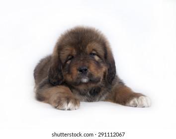 Tibetan Mastiff puppy on white background