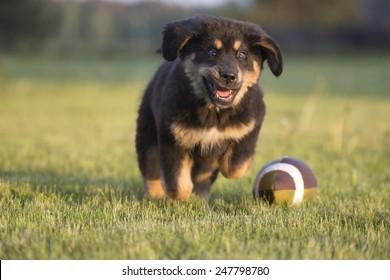 Tibetan mastiff puppy runs in along football ball