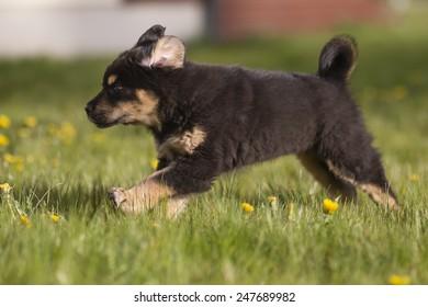 Tibetan mastiff puppy runs on grass