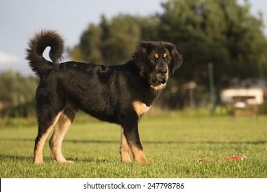 Tibetan mastiff puppy stands in a yard