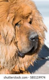 Tibetan mustiff dog in Tibet