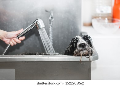 Tibetan terrier dog getting washed at dog wash in stainless steel bathtub, selective focus