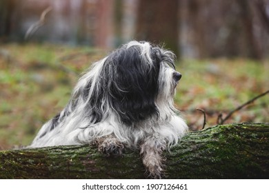 Tibetan terrier dog laying on a tree trunk in forest and is covered in mud, selective focus, copy space