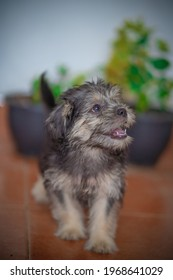 Tibetan Terrier puppy Cute puppy with long hair