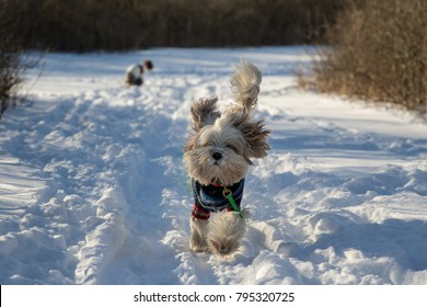 Tibetan terrier running with another dog photobombing by taking a dumb in the back