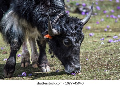 Tibetan yak eating grass in a pasture at Himalaya mountains