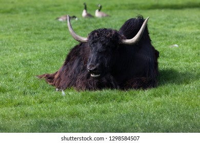 A Tibetan yak is laying in the spring sunshine on the grass with three geese in the background.