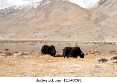 Tibetian wild yak