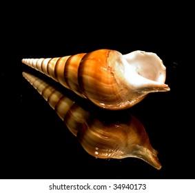 Tibia Insulaechorab / Arabian Tibia seashell 0705