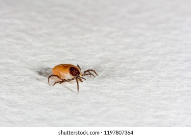 tick bloodsucker closeup on white background with copy space