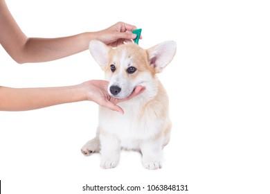 tick and flea prevention for a corgi dog on white background