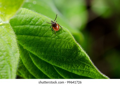 tick, fresh foliage in spring