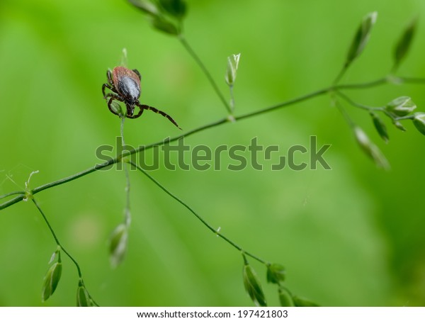 tick in grass