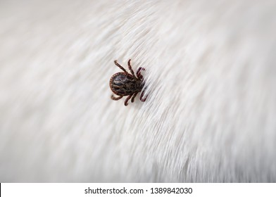 Tick insect parasite attacking dog. Hard tick (Ixodes) on dog fur