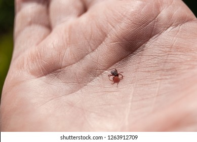 The tick Ixodes ricinus in the palm of the person. TICK wandered around the human arm, spreading tick-borne encephalitis.