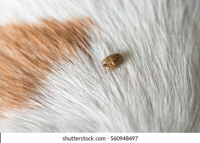 Dog Tick Images Stock Photos Vectors Shutterstock