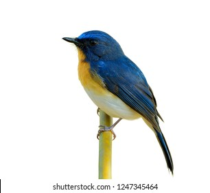 Tickell's blue flycatcher (Cyornis tickelliae) exotic bird with orange breast white belly and long tail with sharp eyes calmly perching on bamboo stick isolated on white background