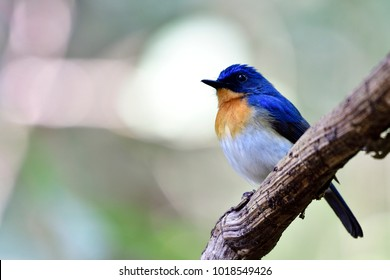 Tickell's blue flycatcher is a small passerine bird in the flycatcher family. This is an insectivorous species which breeds in tropical Asia, from the Indian Subcontinent eastwards to Southeast Asia.