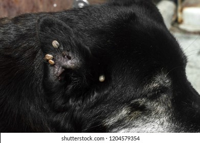 Ticks in dog ears, parasites