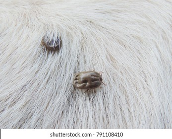 Ticks on white hair of dog,Ticks sucking dog blood.