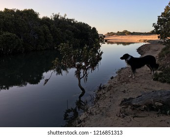 Tidal waterway in ocean mangroves at early dawn light with border collie looking on, South Australia Eyre Peninsula ocean, reflections in the water, environment in the sandy tidal flats.