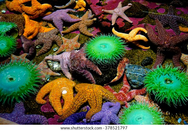 Tide Pool in Oregon Coast filled with Colorful Starfish and Creatures