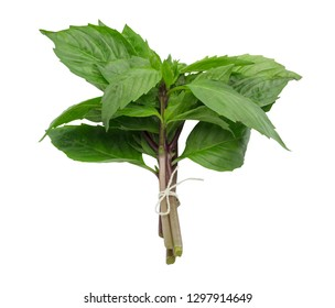 Tied bunch of fresh basil leaves isolated over white background