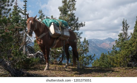A tied pack horse carrying pack boxes resting at a mountain lookout. (Chilcotin, BC, Canada)