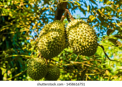 Tien Giang Province, Viet Nam July 8th 2019: Durian tree, Fresh durian fruit on tree, Durians are the king of fruits, Tropical of asian fruit.