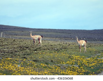 TIERRA DEL FUEGO, CHILE - NOVEMBER 14,2014: Guanaco in Tierra del Fuego.Guanaco is a mammal of the genus llama camelid. Is the ancestor of the domesticated llama.