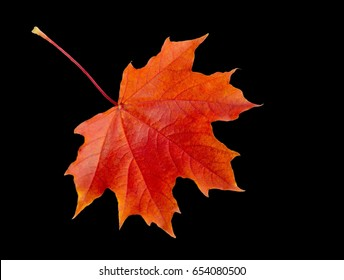 TIF format. Saved layers. The leaf of the maple leaf is separated from the background.  Autumn still life of maple leaves. Warm colors of Autumn. Green and Yellow Autumn Maple Leaf