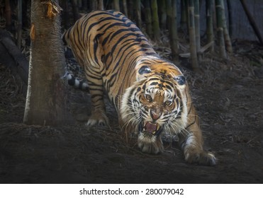 tiger action