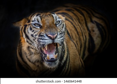 The Tiger action Bared threaten.