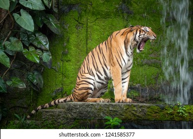 Tiger action roar.