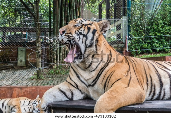 Tiger Action in Tiger zoo