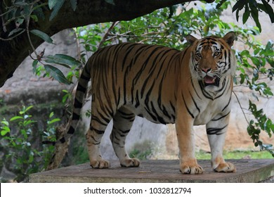 Tiger animal wildlife