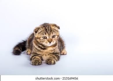 tiger baby cat