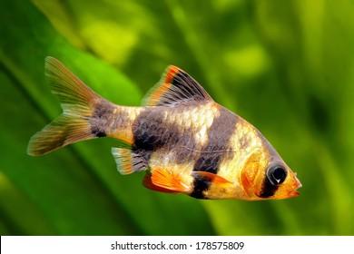 Tiger barb or Sumatra barb fish in the aquarium