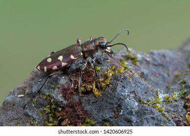 Tiger beetle - Calomera littoralis