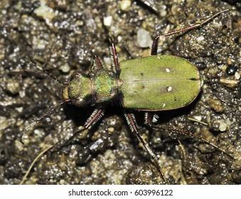tiger beetle in natural habitat / Cicindella campestris