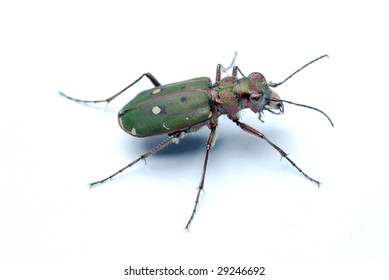 tiger beetle on a white background