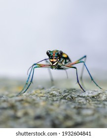 Tiger beetles (Cicindelinae)close up, Insects of Thailand.
