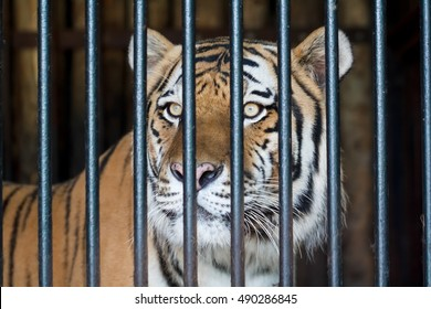 Tiger behind bars in the city zoo.